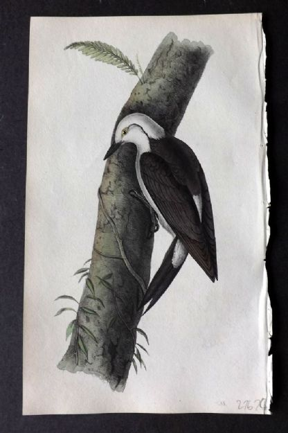 Swainson 1820 Hand Col Bird Print. Black and White Woodpecker 38